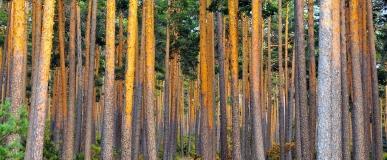 Entre… pinos